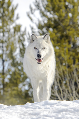 lupus: Gray timber wolf (Canis lupus), walking in snow.