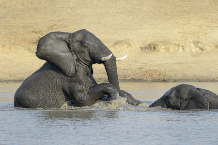 loxodonta africana: African Elephants (Loxodonta africana), playing in the water, Kruger National Park, South Africa