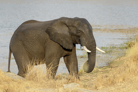 full length herbivore: African Elephant (Loxodonta africana) walking at riverbank, Kruger National Park, South Africa