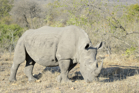 full length herbivore: White rhino (Ceratotherium simum) grazing close up, Kruger national park, South Africa. Stock Photo