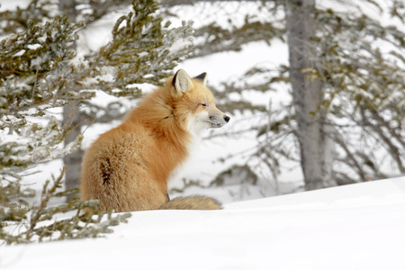 woodland: Red Fox (Vulpes vulpes) adult, sitting in snow, Churchill, Manitoba, Canada. Stock Photo