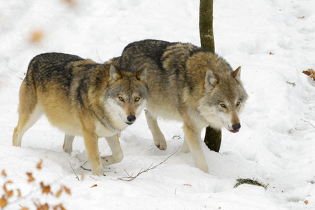 grey wolf: Two adult Eurasian wolf (Canis lupus lupus) walking in the snow, Germany