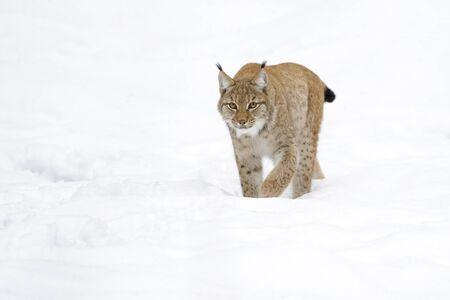 predator: Eurasian Lynx (Lynx lynx) walking in snow, Germany