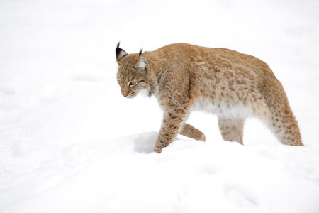 Eurasian Lynx (Lynx lynx) walking in snow, Germany