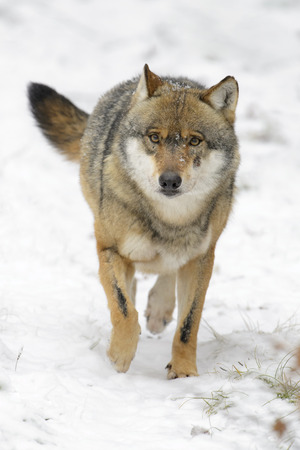 Adult Eurasian wolf (Canis lupus lupus) running towards camera in the snow, Germany Stok Fotoğraf