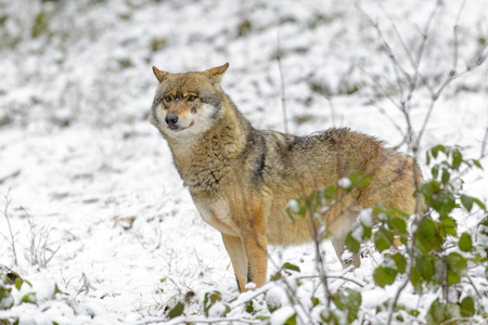 animal in the wild: Adult Eurasian wolf (Canis lupus lupus) standing in the forest in snow, Germany
