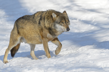 Adult Eurasian wolf (Canis lupus lupus) walking in the forest in snow, Germany Reklamní fotografie