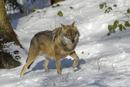 Adult Eurasian wolf (Canis lupus lupus) walking in the forest in snow, Germany