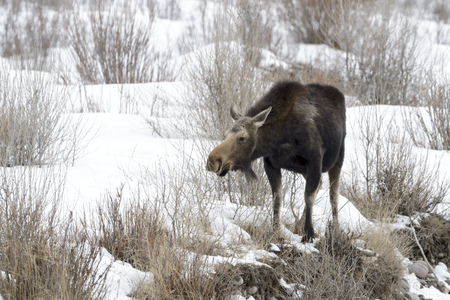 Moose (Alces alces) foraging on riverbank during winter, Grand Teton national park Wyoming, USA.