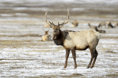 Elk or Wapiti (Cervus canadensis) in the snow, looking at camera, National Elk Refuge, Jackson, Wyoming, USA Stock Photo