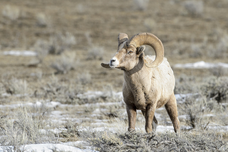 Bighorn Sheep (Ovis canadensis) male, ram, in snow and sage during winter, National Elk refuge, Jackson, Wyoming, USA.