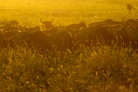 Wildebeests (Connochaetes taurinus) herd grazing during migration at sunrise, Serengeti national park, Tanzania. Stock Photo
