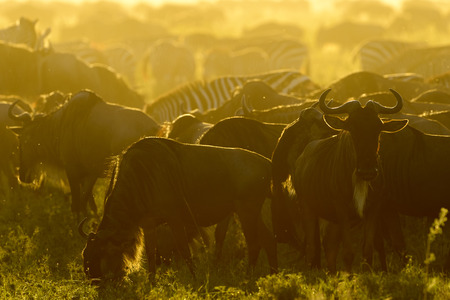 Wildebeests (Connochaetes taurinus) herd and plain zebra (Equus quagga) during migration at sunrise, Serengeti national park, Tanzania.