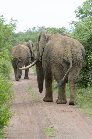 African Elephant (Loxodonta africana) walking on the road, seen from behind, Akagera National Park, Rwanda, Africa Stock Photo