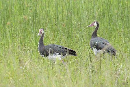 White-faced Whistling Duck (Dendrocygna viduata) standing together in high grass, Akagera, national park, Rwanda