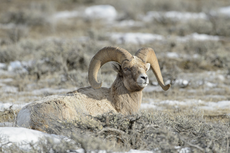 Bighorn Sheep (Ovis canadensis) male, ram, lying down in snow and sage during winter, National Elk refuge, Jackson, Wyoming, USA. Stock Photo