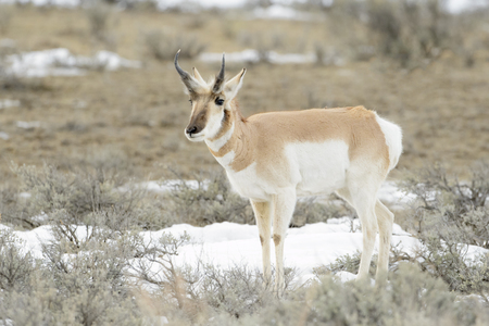 Pronghorn Antelope (Antilocapra americana), Yellowstone National Park, Wyoming, USA