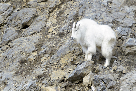 Mountain Goat (Oreamnos americanus) standing on the cliffs at the Snake river canyon, Wyoming, USA.