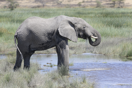 behave: African elephant (Loxodonta africana) drinking water in Serengeti national park, Tanzania.