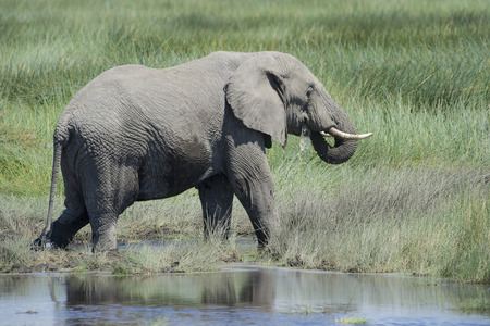 full length herbivore: African elephant (Loxodonta africana) drinking water in Serengeti national park, Tanzania.