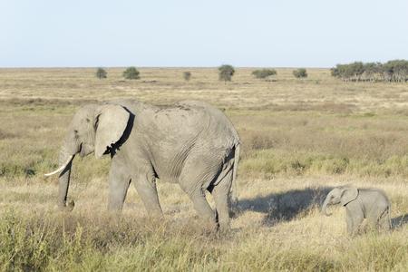 African elephant (Loxodonta africana), cow with baby, Serengeti national park, Tanzania. Stock Photo