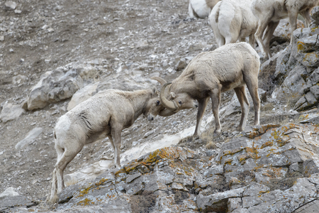 Bighorn Sheep (Ovis canadensis) male, ram, fighting on cliff, National Elk refuge, Jackson, Wyoming, USA.