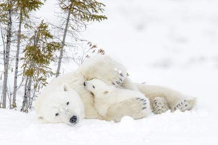두 새끼, Wapusk 국립 공원, 매니토바, 캐나다와 북극곰 어머니 (Ursus maritimus) 스톡 콘텐츠