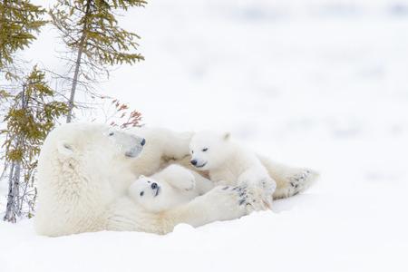 Polar bear mother (Ursus maritimus) with two cubs, Wapusk National Park, Manitoba, Canada Foto de archivo