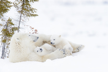 Polar bear mother (Ursus maritimus) with two cubs, Wapusk National Park, Manitoba, Canada 免版税图像
