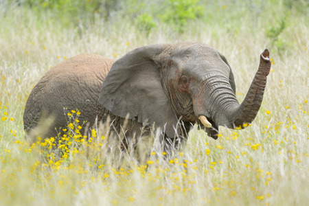 African Elephant (Loxodonta africana) foraging between yellow flowers, Akagera National Park, Rwanda