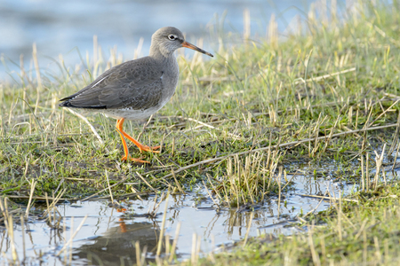 Redshank (Tringa totanus), walking in grass, Texel, The Netherlands Stock Photo