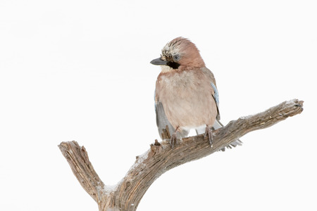 Jay (Garrulus glandarius) perched at a branch in winter, Lauvsness, Flatanger, Norway.
