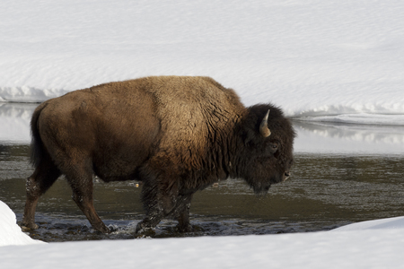 American Bison (Bison bison) in the snow, crossing river
