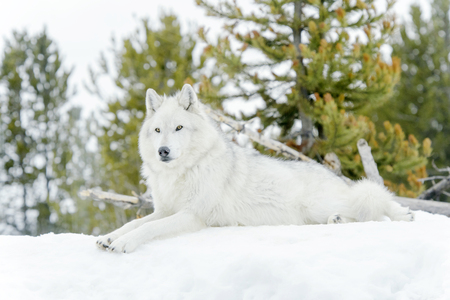 Gray timber wolf (Canis lupus), lying down in snow. Stok Fotoğraf