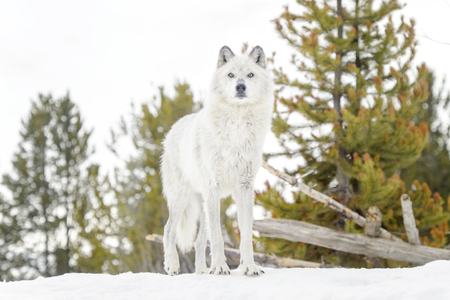 Gray timber wolf (Canis lupus), standing in snow. Stok Fotoğraf
