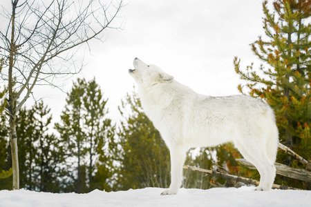 Gray timber wolf (Canis lupus), howling in snow. Stok Fotoğraf