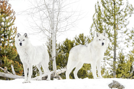 A pair gray timber wolf (Canis lupus), standing in snow, looking at camera.