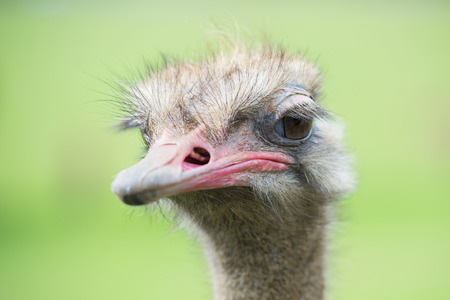 avestruz: Portrait of ostrich (Struthio camelus) in captivity, Spain.