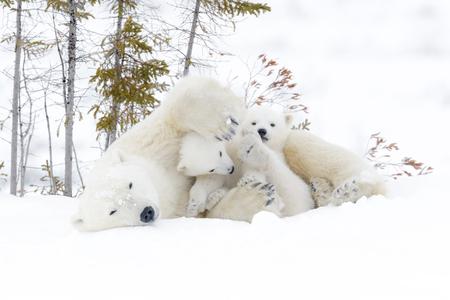 두 마리 새끼와 북극곰 어머니 (Ursus maritimus).