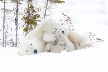 Polar bear mother (Ursus maritimus) with two cubs.