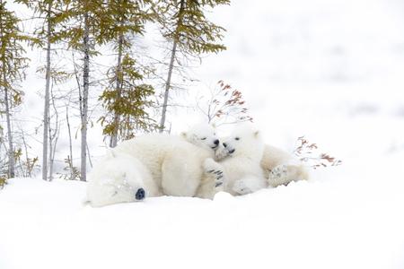Polar bear mother (Ursus maritimus) with two cubs.