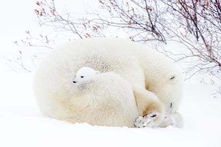 북극곰 어머니 (Ursus maritimus) 툰드라에 새로 태어난 된 새끼 자고.