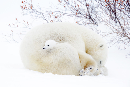 Polar bear mother (Ursus maritimus) sleeping on tundra with new born cub.