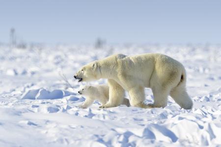 Madre de oso polar (Ursus maritimus) con cachorro recién nacido caminando en tundra, Parque Nacional Wapusk, Manitoba, Canadá