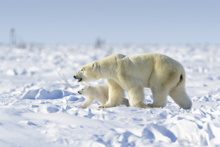 Polar bear mother (Ursus maritimus) with new born cub walking on tundra, Wapusk National Park, Manitoba, Canada 免版税图像
