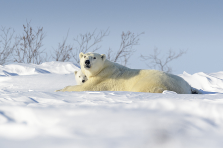 Polar bear mother (Ursus maritimus) with new born cub lying down on tundra, Wapusk National Park, looking at camera, Manitoba, Canada