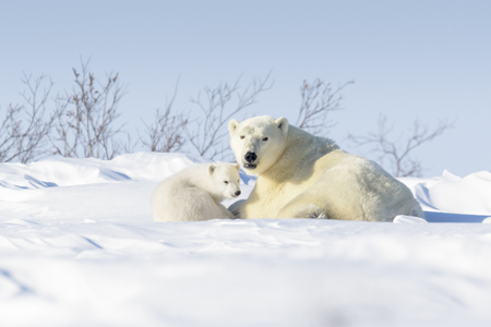 Polar bear mother (Ursus maritimus) with new born cub lying down on tundra, Wapusk National Park, Manitoba, Canada Stock Photo