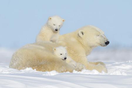 Matka niedźwiedzia polarnego (Ursus maritimus) bawiąca się z dwoma młodymi, Park Narodowy Wapusk, Manitoba, Kanada Zdjęcie Seryjne
