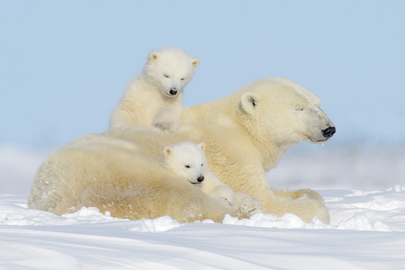 Polar bear mother (Ursus maritimus) playing with two cubs, Wapusk National Park, Manitoba, Canada Фото со стока - 87353334