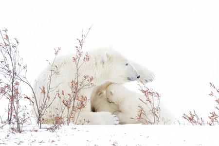 Polar bear mother (Ursus maritimus) nursing and feeding two cubs, Wapusk National Park, Manitoba, Canada Stock Photo
